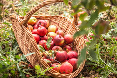 Basket with apples in a garden Stock Image