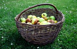 Basket of Apples on Grass Stock Image