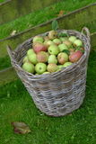 Basket apples. In grass field Stock Photo