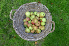 Basket apples. In grass field Stock Photos