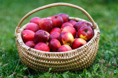 Basket with apples in the grass. Basket of freshly picked apples in the grass Stock Photography