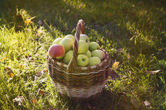 Basket with apples is on the grass. Green apples in a basket, collected during the autumn harvest Stock Photography