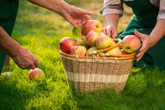 Basket of apples on grass. Hands of senior gardeners Stock Images