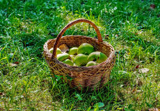 Basket with apples on green grass Stock Images