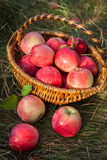 Basket with apples healthy organic nutrition food Royalty Free Stock Photo