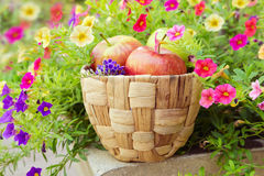 Basket with apples inside a beautiful flower garden Stock Photography
