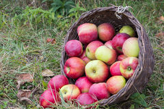 Basket of apples lying Royalty Free Stock Photo