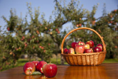 Basket of apples and orchard Stock Image