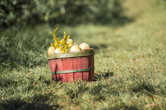 Basket of apples in orchard Royalty Free Stock Photo