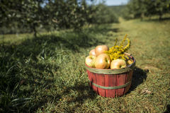 Basket of apples in orchard Royalty Free Stock Image
