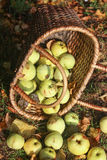 Basket with apples Royalty Free Stock Photography