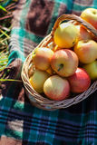 Basket with apples. On plaid royalty free stock images