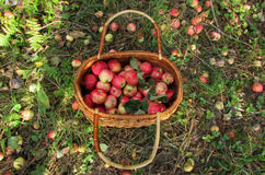 Basket of apples. Ripe juicy apples in a wicker basket. The background is a rich harvest Royalty Free Stock Image