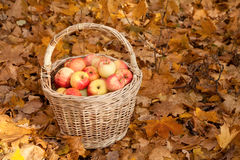 Basket with apples stand on earth on maple leaves Stock Photo