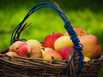 Basket of apples. Summer basket of tasty apples Royalty Free Stock Photo