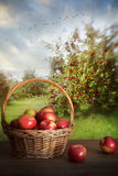Basket of apples on table in orchard Stock Photography