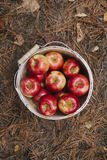 Basket of apples top view on the forest ground in autumn. Stock Images