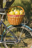 Basket of apples. Wicker basket full of apples. Basket of apples standing on the trunk of a bicycle Royalty Free Stock Photo