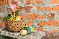 Basket with apples in woman's hand. Autumn Royalty Free Stock Photo