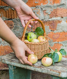 Basket with apples in woman's hand. Autumn Stock Image