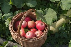 A basket of apples and zucchini. royalty free stock photos