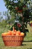 Basket of apricots Stock Photo