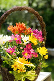Basket with aster Stock Photos
