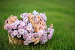Basket with autumn flowers. On a green meadow Stock Photo