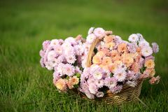 Basket with autumn flowers. On a green meadow Royalty Free Stock Images