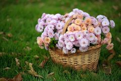 Basket with autumn flowers. On a green meadow Stock Photos