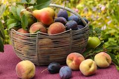 A basket of autumn fruits on a table in the garden. In the basket are apples, pears, plums and peaches. Some of the fruit lies on the table stock photos