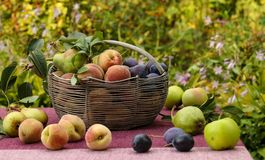 A basket of autumn fruits on a table in the garden. In the basket are apples, pears, plums and peaches. Some of the fruit lies on the table royalty free stock images