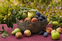 A basket of autumn fruits on a table in the garden. In the basket are apples, pears, plums and peaches. Some of the fruit lies on the table royalty free stock image