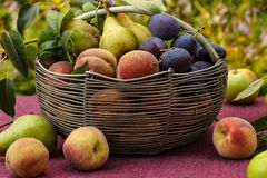 A basket of autumn fruits on a table in the garden. In the basket are apples, pears, plums and peaches. Some of the fruit lies on the table royalty free stock photo