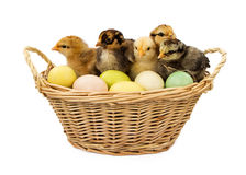 Basket of Baby Chicks and Easter Eggs Royalty Free Stock Photos