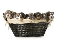 Basket of bassets Stock Photos