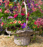 Basket with beautiful early flowering plants. Royalty Free Stock Photo