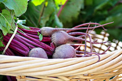 Basket of Beets Stock Images