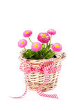 Basket with Bellis daisies. A wicker basket with Bellis daisies flowers isolated over white Stock Photo
