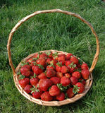 The basket with berries. My garden. The harvest of the strawberries royalty free stock photography