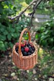 Basket with berries - blackberries and raspberries Royalty Free Stock Images