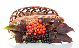 Basket with berries  mountain ash and elderberry isolated on white. Royalty Free Stock Images