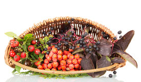 Basket with berries, rose hips, elderberry and rowan isolated. Stock Image