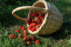 The Basket with berry. Royalty Free Stock Photo