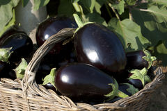 Basket of biological eggplants Stock Images