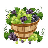 Basket with black and green grapes. Vector illustration. Stock Image