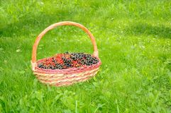 Basket with Black and Red Currants on Green Lawn Stock Image