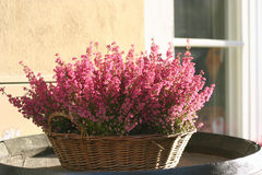 A basket of blooming heather Royalty Free Stock Photography