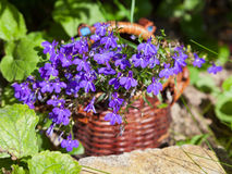 Basket of blue lobelias flowers Stock Image