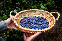 Basket of blueberries Stock Image
